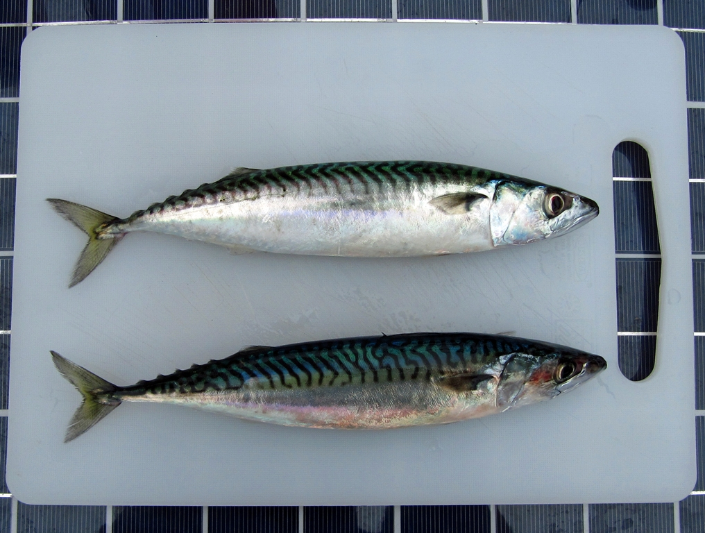 Mackerel cooked in seawater